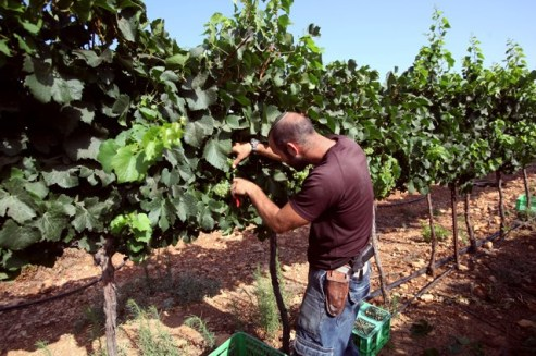 245024_winegrape_639